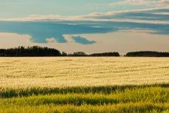 Forêt éloignée mûre de champ de blé en soleil de soirée image libre de droits