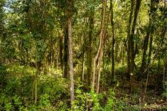 Forêt épaisse d'arbres minces avec le feuillage abondant images libres de droits