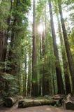 Forêt épaisse de séquoia images stock