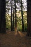 Forêt 02 de séquoia Photo libre de droits