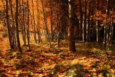 Forêt 2 d'Aspen Images libres de droits