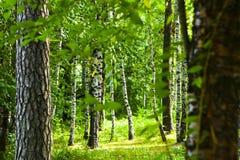 Forêt au Belarus Photos libres de droits