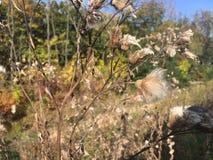 Forêt, automne tôt Chardon sec, plan rapproché Photos stock