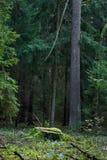 Forêt avec des arbres et mousse à l'arrière-plan lithuania Images stock