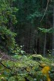 Forêt avec des arbres et mousse à l'arrière-plan lithuania Photographie stock libre de droits