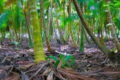 Forêt avec des cocotiers Image libre de droits