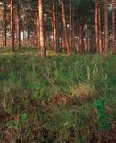 Forêt avec des pinetrees. Joncteurs réseau et pré. Images libres de droits