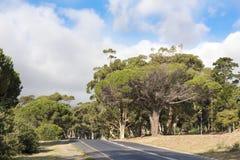 Forêt avec des pins, Afrique du Sud Photos stock