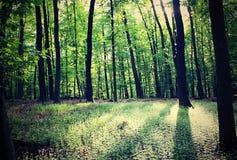 Forêt avec des rais du soleil Photo stock