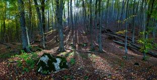 Forêt avec des rayons du soleil Image libre de droits