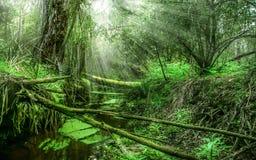 Forêt avec des rayons du soleil par les arbres Images stock