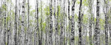 Forêt avec des troncs des arbres de bouleau Photographie stock libre de droits