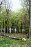 Forêt avec l'arbre réduit Photo libre de droits