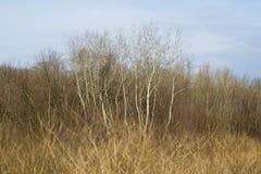 Forêt avec les arbres de bouleau grands Photographie stock libre de droits