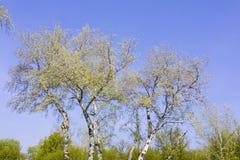 Forêt avec les arbres de bouleau grands photo libre de droits