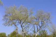 Forêt avec les arbres de bouleau grands image stock