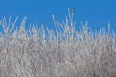 Forêt blanche d'hiver avec le ciel bleu et les branches d'arbre glaciales photos stock