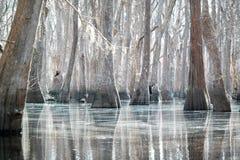 Forêt blanche de Cypress avec de l'eau argenté Image stock