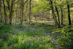 Forêt bleue de cloche Photo libre de droits
