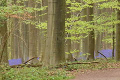 Forêt bleue de ressort Image libre de droits