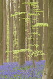 Forêt bleue de ressort Images stock