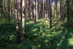 Forêt boréale Photo libre de droits