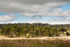 Forêt brésilienne de pin image libre de droits
