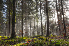 Forêt brumeuse de matin Images libres de droits