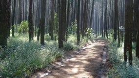 Forêt brumeuse de pin images stock