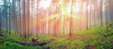 Forêt brumeuse de rayonnement photos stock