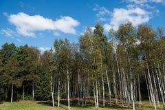 Forêt célèbre d'Osipovichi Photo libre de droits