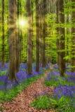 Forêt célèbre Hallerbos à Bruxelles Belgique Photographie stock