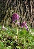 Forêt cave de Corydalis au printemps photographie stock libre de droits