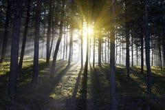 Forêt complètement de soleil Image libre de droits