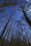 Forêt concernant le ciel bleu Photos libres de droits