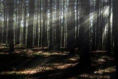Forêt conifére éclairée à contre-jour par le Soleil Levant photos libres de droits