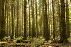Forêt conifére Photo libre de droits