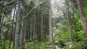Forêt conifére Photographie stock libre de droits