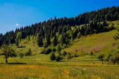 Forêt conifére Photos libres de droits