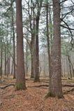 Forêt conifére 3 Photographie stock libre de droits