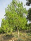 Forêt conifére Image libre de droits