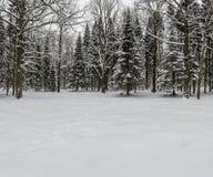 Forêt conifére d'hiver en janvier Images libres de droits