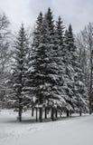 Forêt conifére d'hiver en janvier Photo libre de droits