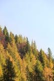 Forêt conifére dense de montagne d'automne Images libres de droits
