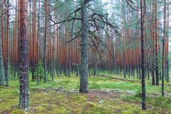 Forêt conifére moussue Image libre de droits