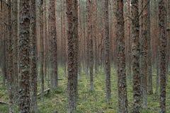 Forêt conifére sur la broche de Curonian photographie stock
