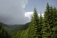 Forêt conifére sur la montagne photos libres de droits