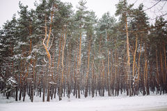 forêt couverte de neige au coucher du soleil Image stock