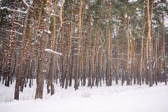forêt couverte de neige au coucher du soleil Photos stock