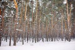forêt couverte de neige au coucher du soleil Photographie stock libre de droits